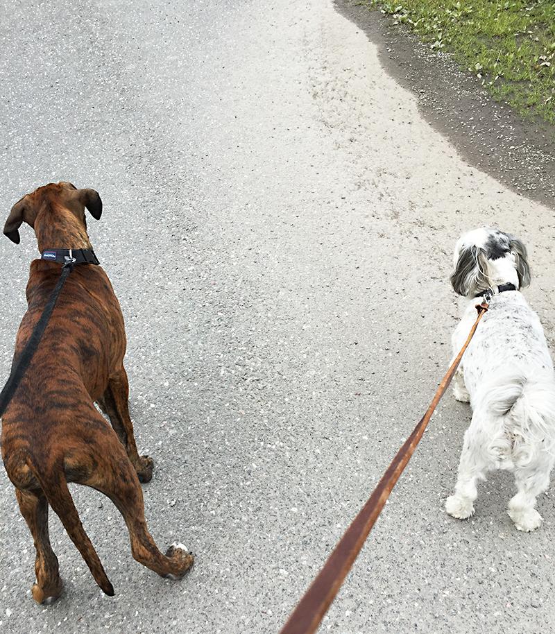 Hundar, boxer och Bichon Havanais